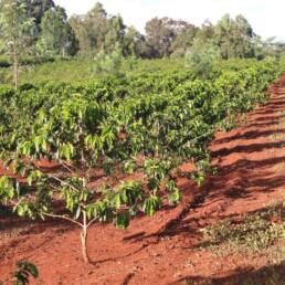 Oreti-Estate_Kenya_1